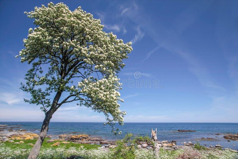 Árvore da mola na costa de Bornholm imagem de stock