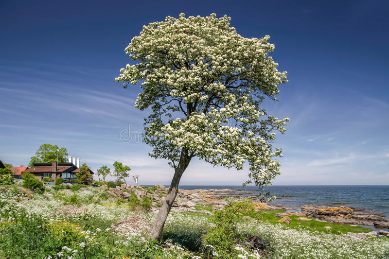 Árvore da mola na costa de Bornholm imagens de stock royalty free