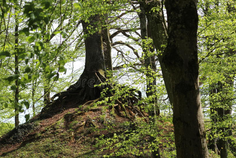 A árvore da montanha fotos de stock royalty free