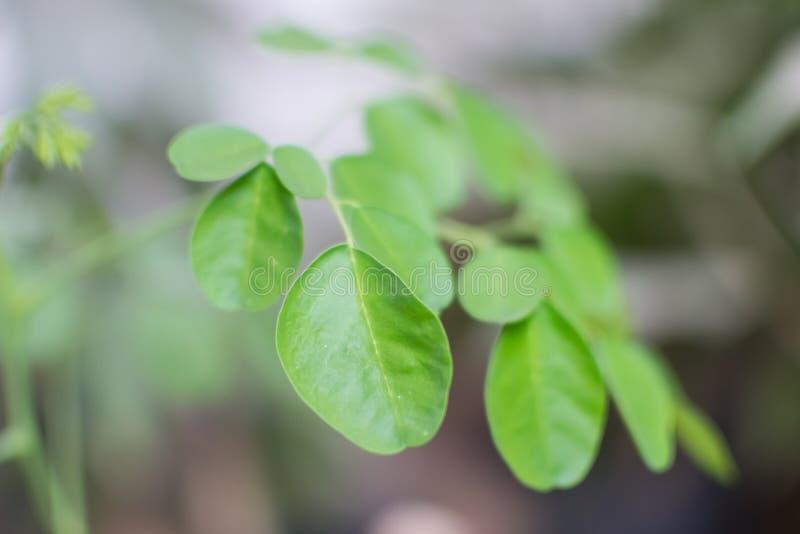 A árvore da moringa oleifera sae do close up fotos de stock royalty free