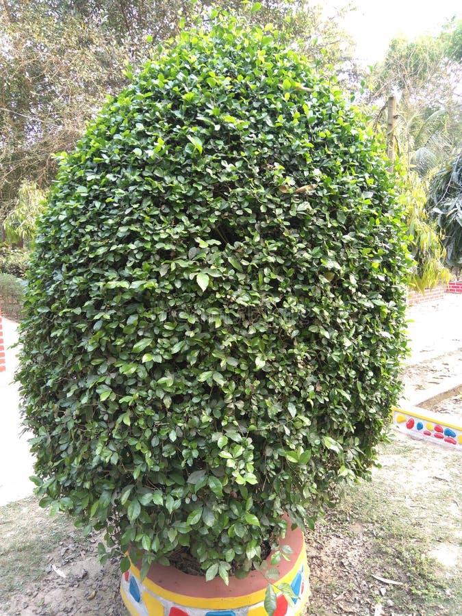 árvore da natureza em bangladesh fotografia de stock