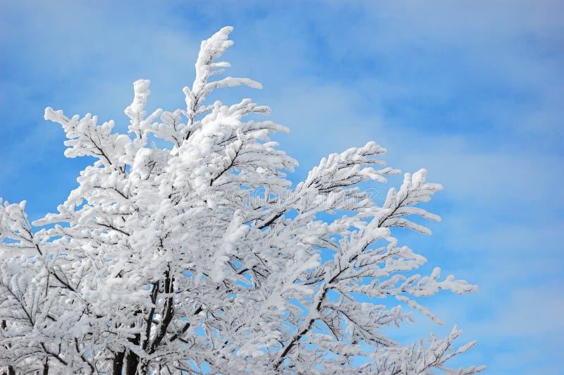 Árvore da neve no céu azul imagens de stock royalty free