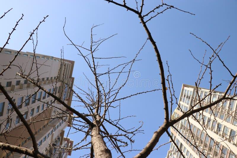 Árvore da nogueira-do-Japão após decíduo imagem de stock
