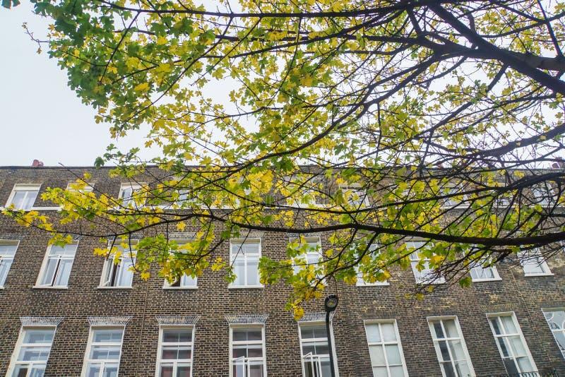 Árvore da nogueira-do-Japão no outono com contexto da construção do vintage em Londres fotos de stock