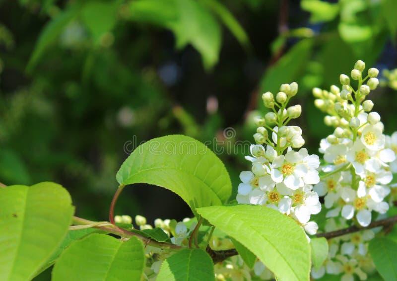 Árvore da pássaro-cereja das flores brancas no jardim contra as folhas verdes foto de stock royalty free