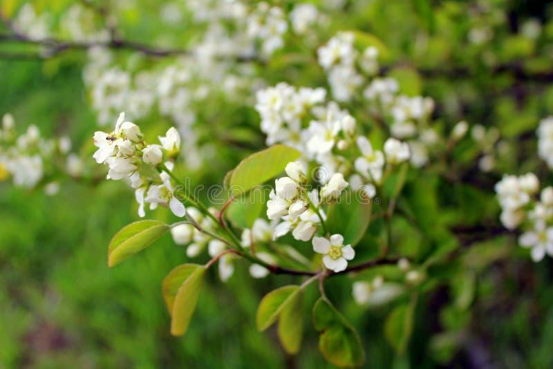 Árvore da pássaro-cereja das flores brancas no jardim contra as folhas verdes imagem de stock royalty free
