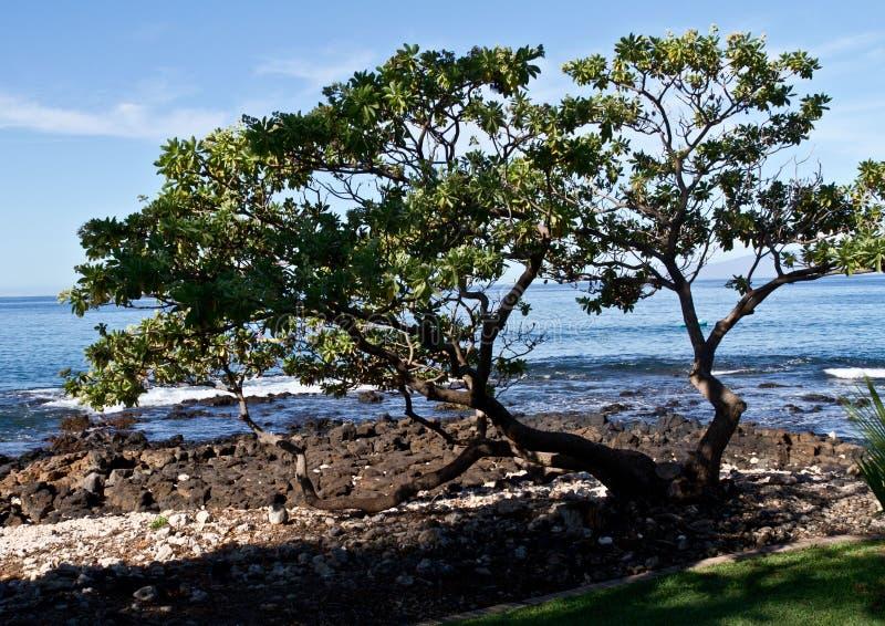 Árvore da praia em Maui foto de stock