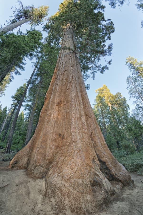 Árvore da sequoia imagem de stock