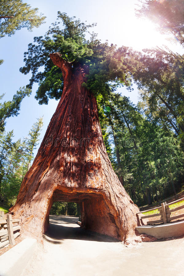 Árvore da sequoia com túnel no parque nacional da sequoia vermelha imagens de stock