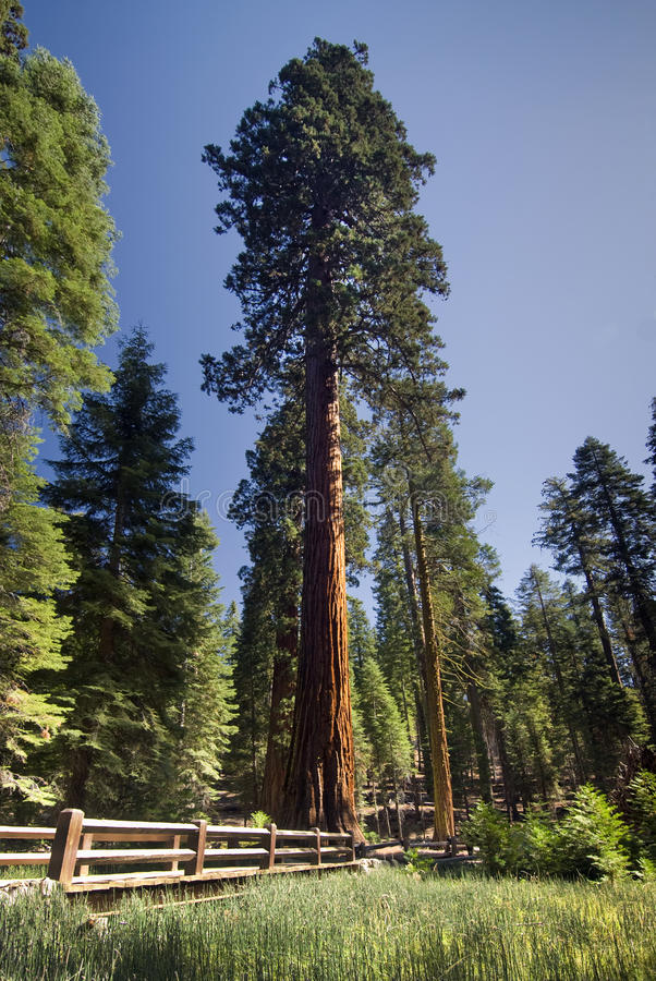 Árvore da sequoia gigante, bosque de Mariposa, parque nacional de Yosemite, Califórnia, EUA fotos de stock royalty free