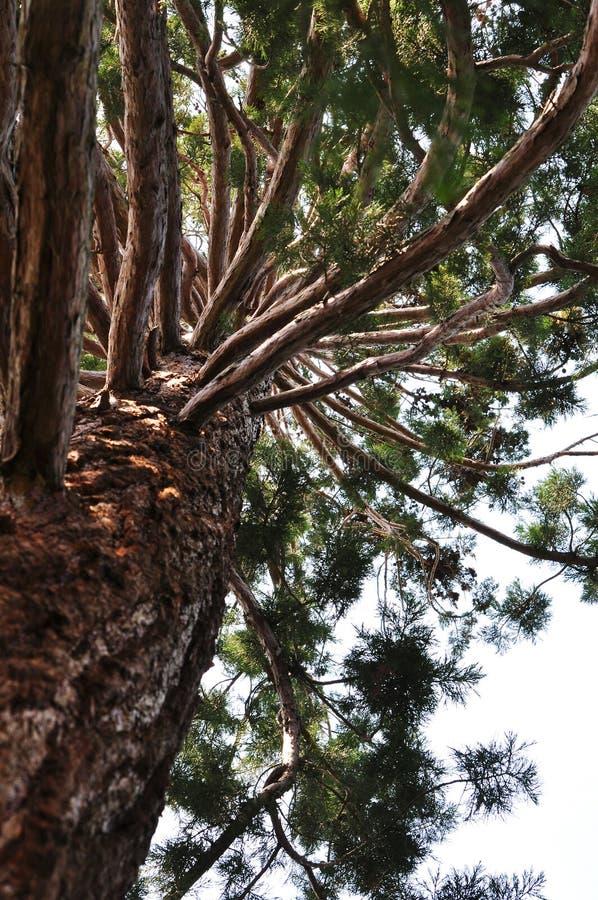 Árvore da sequoia vermelha imagem de stock