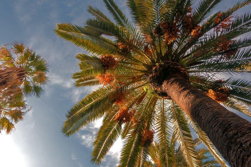 Árvore da tâmara foto de stock