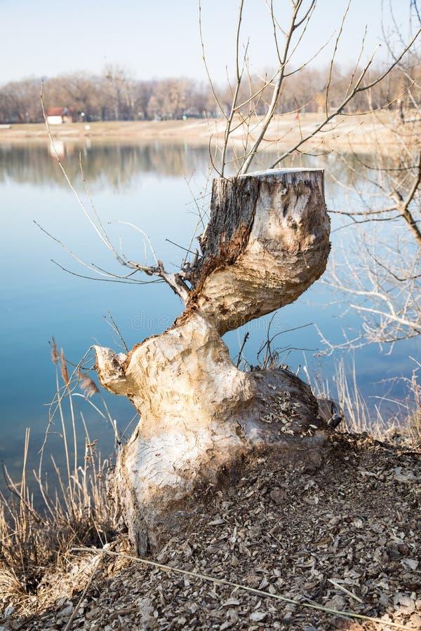 Árvore danificada severamente por castores imagens de stock