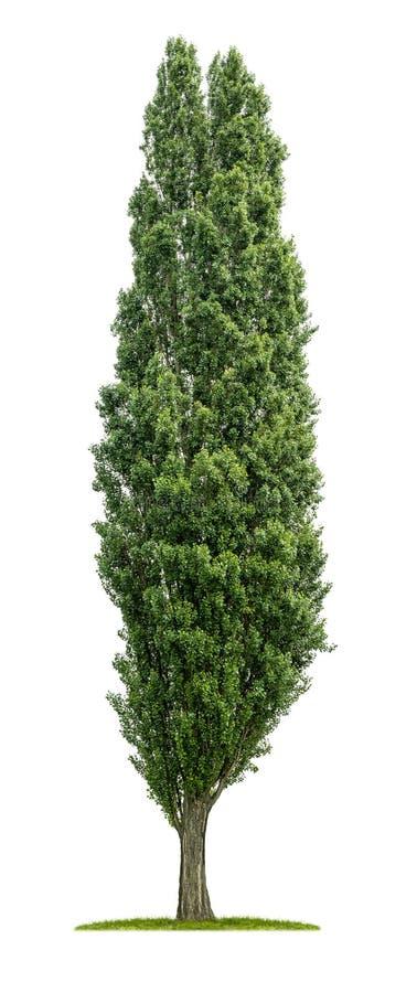 Árvore de álamo isolada fotografia de stock