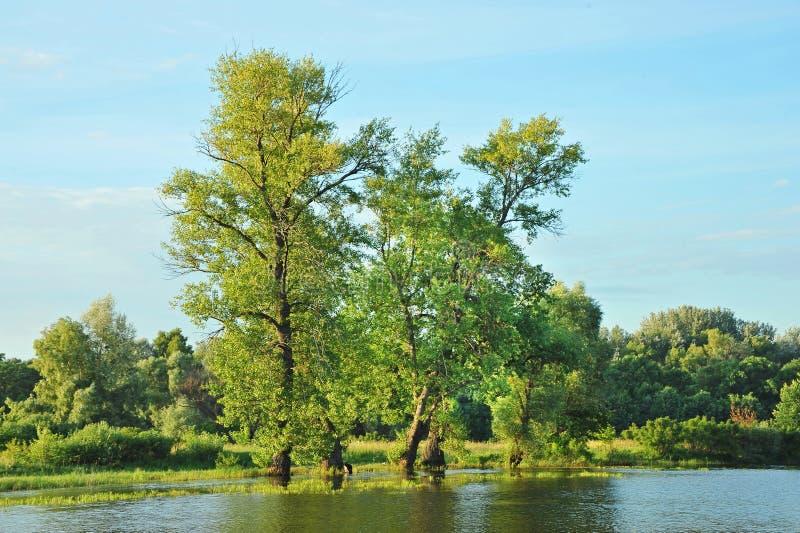 Árvore de álamo sobre o lago fotografia de stock