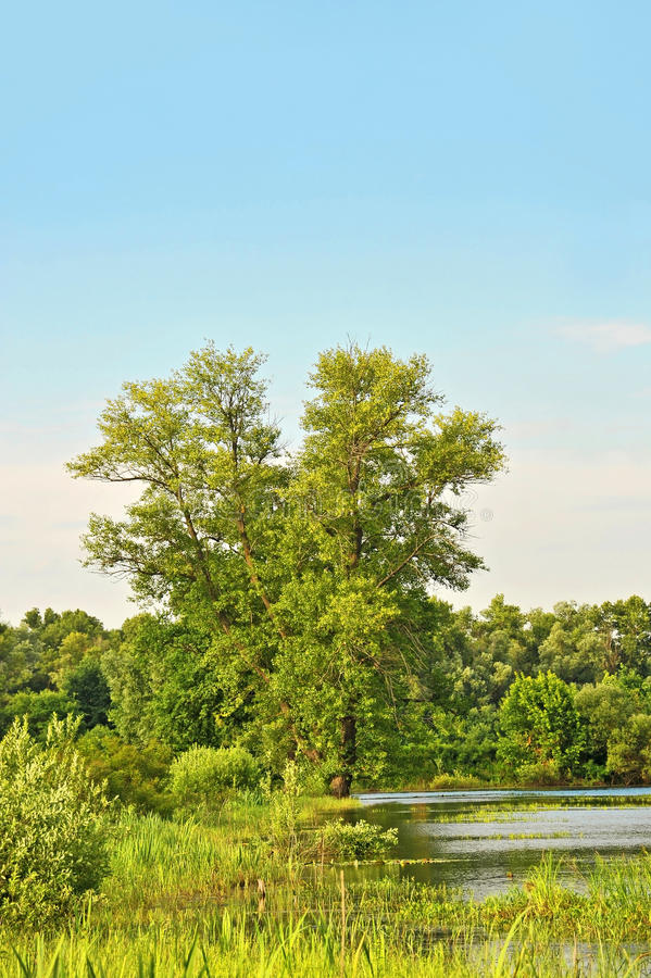 Árvore de álamo sobre o lago fotos de stock