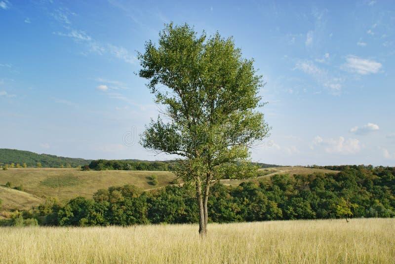 Árvore de álamo verde alta no prado imagens de stock royalty free