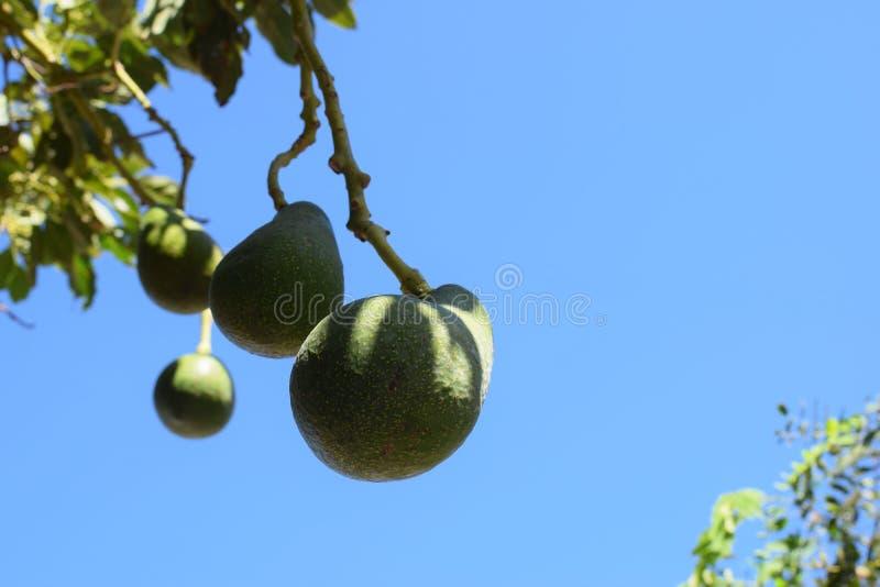 Árvore de abacate fotografia de stock royalty free