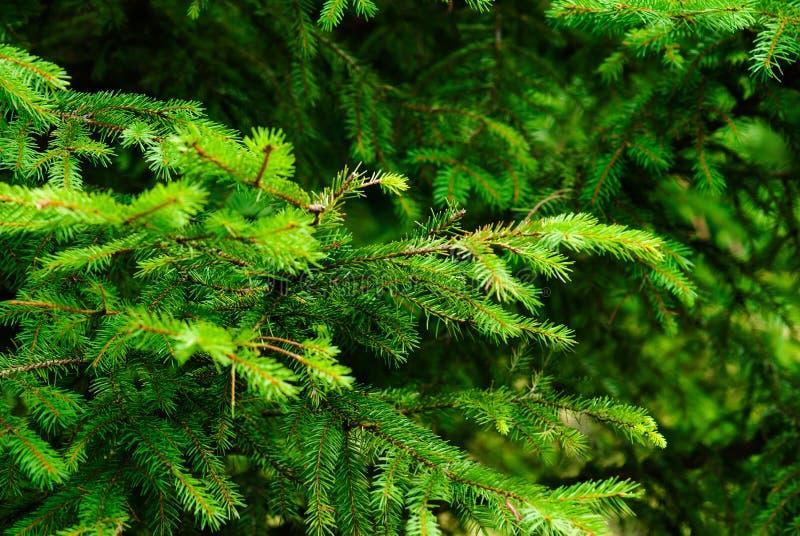 Árvore de abeto foto de stock