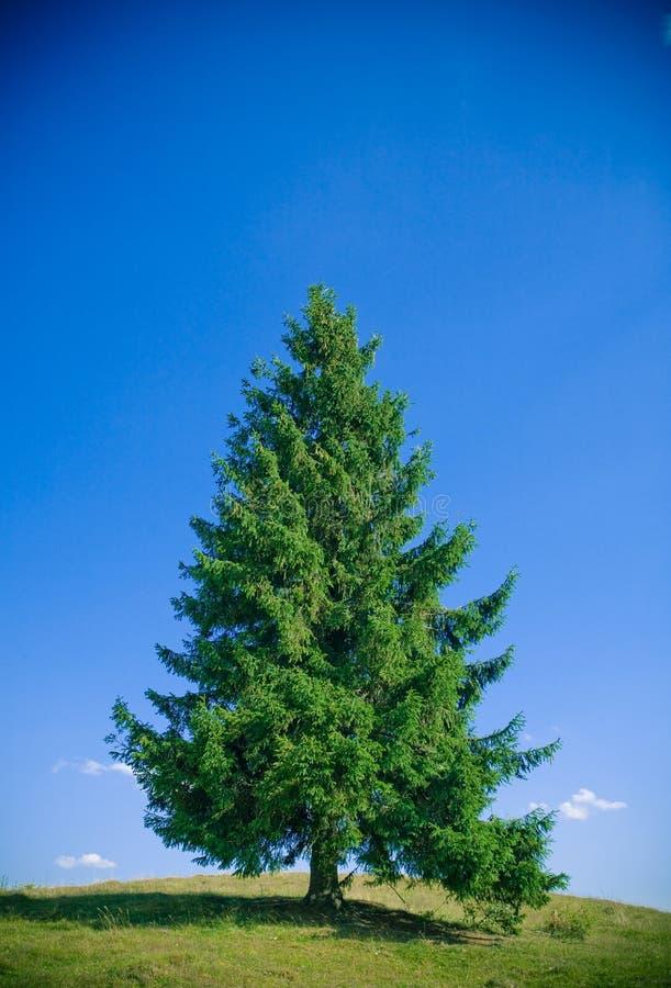 Árvore de abeto fotos de stock royalty free