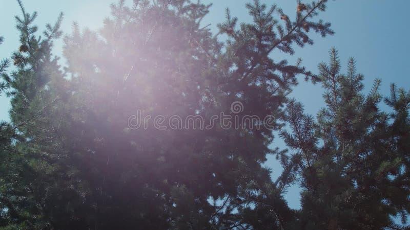 Árvore de abeto contra o céu com os remendos da luz solar vídeos de arquivo