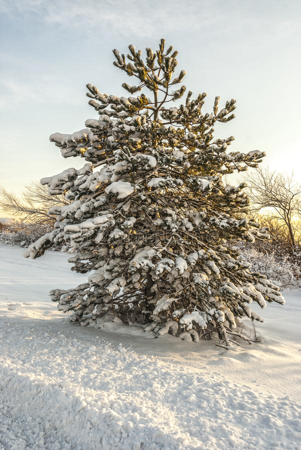 Árvore de abeto na neve foto de stock