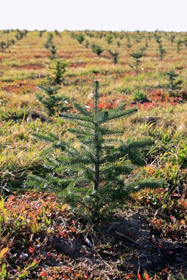 Árvore de abeto pequena foto de stock royalty free