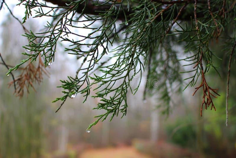 Árvore de abeto verde após a chuva fotografia de stock