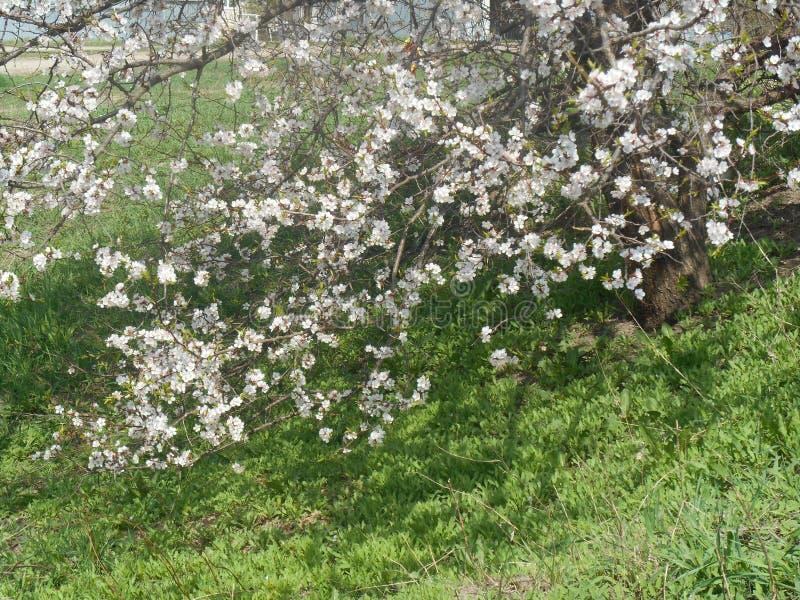 Árvore de abricó de florescência da mola foto de stock royalty free