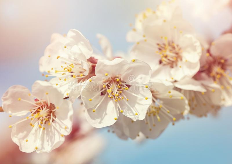 Árvore de abricó de florescência fotografia de stock royalty free