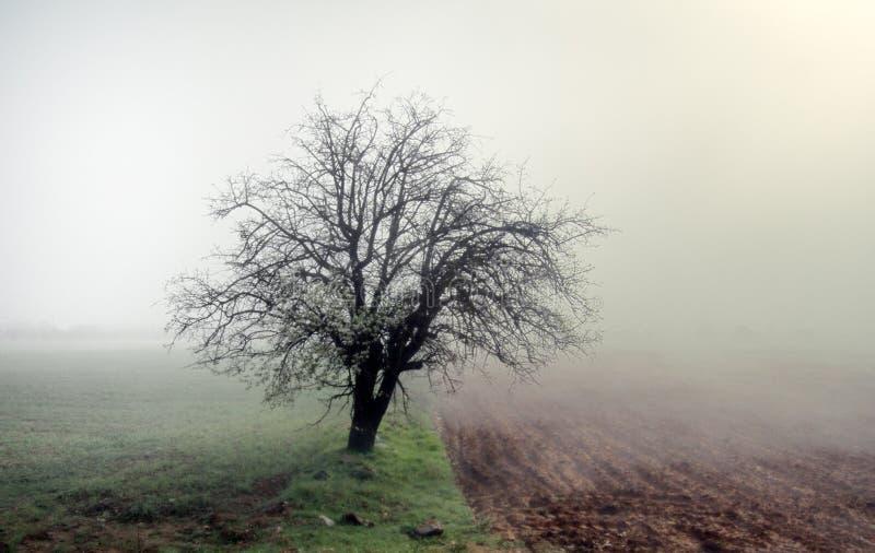 A árvore de abricó só floresce entre campos, manhã enevoada imagem de stock