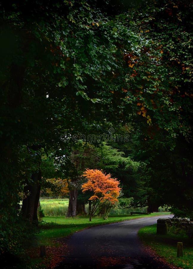 Árvore de Acer fotos de stock