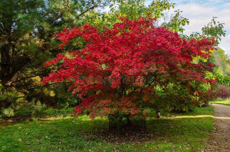 Árvore de Acer Palmatum fotos de stock