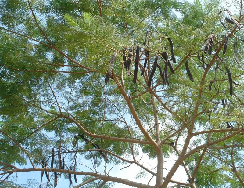 Árvore de alfarroba imagem de stock royalty free