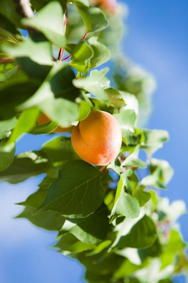 Árvore de alperce com frutas fotos de stock royalty free