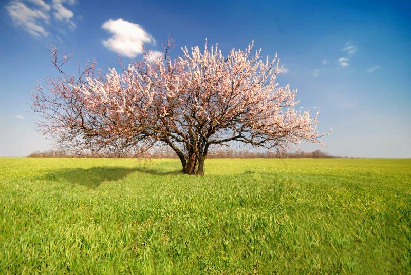 Árvore de alperce, dia fotos de stock royalty free