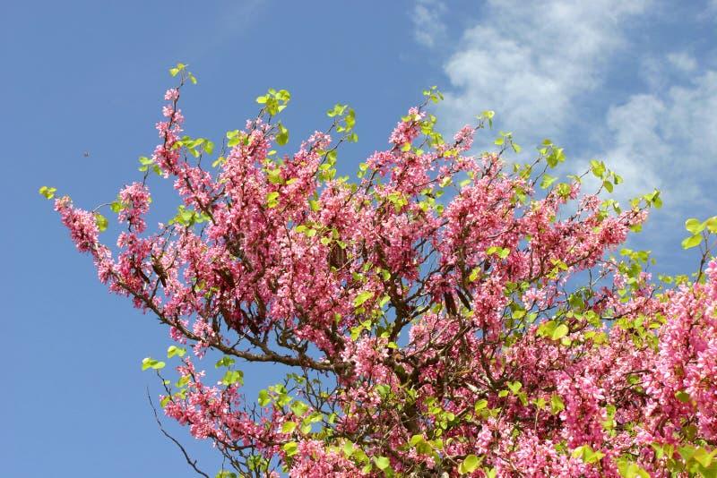 Árvore de amêndoa com as flores cor-de-rosa de florescência fotografia de stock