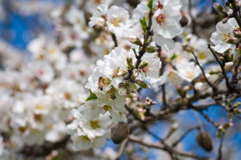Árvore de amêndoa de florescência imagem de stock