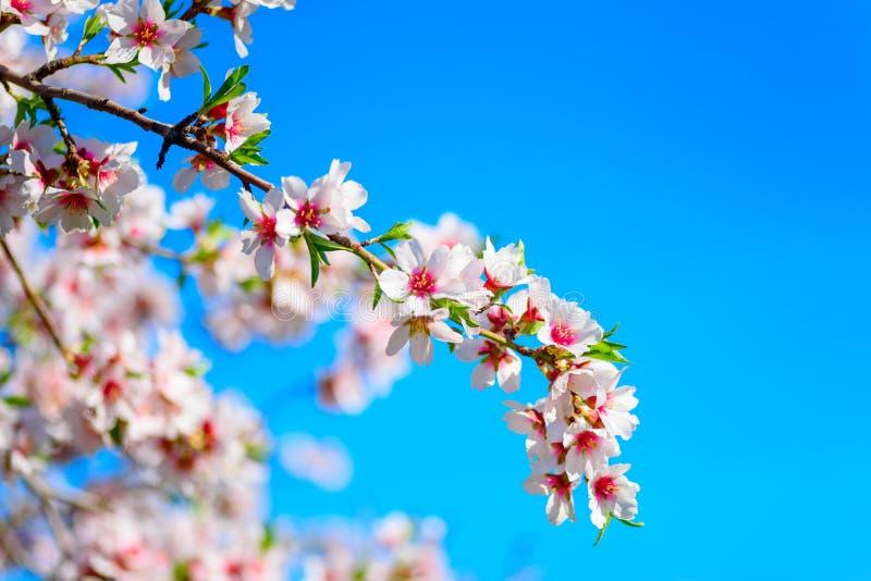 Árvore de amêndoa de florescência bonita imagem de stock