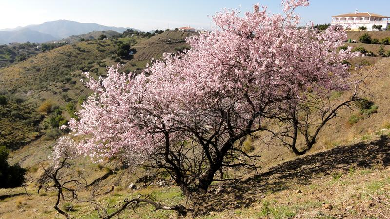 Árvore de amêndoa de florescência maravilhosamente cor-de-rosa na mola imagem de stock royalty free