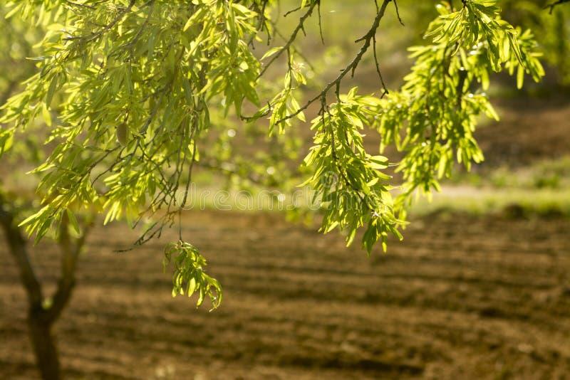 Árvore de amêndoa iluminada parte traseira imagens de stock royalty free