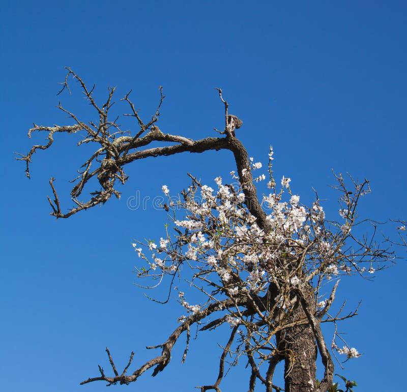 Árvore de amêndoa metade-inoperante velha com um ramo de florescência imagens de stock royalty free
