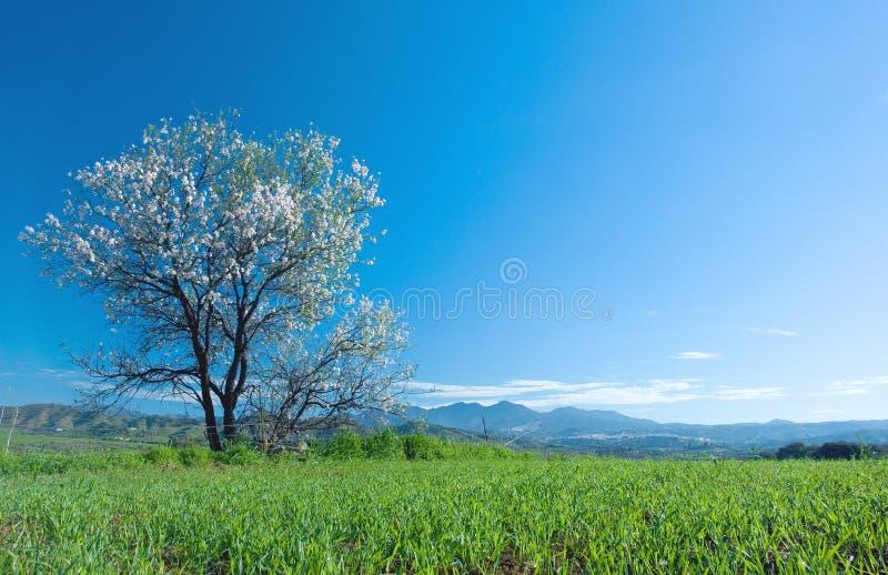 Árvore de amêndoa na flor imagem de stock royalty free