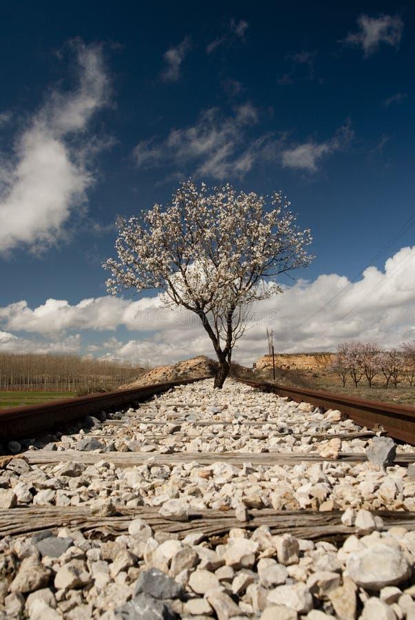 Árvore de amêndoa na flor que ocupa algumas trilhas de estrada de ferro velhas foto de stock