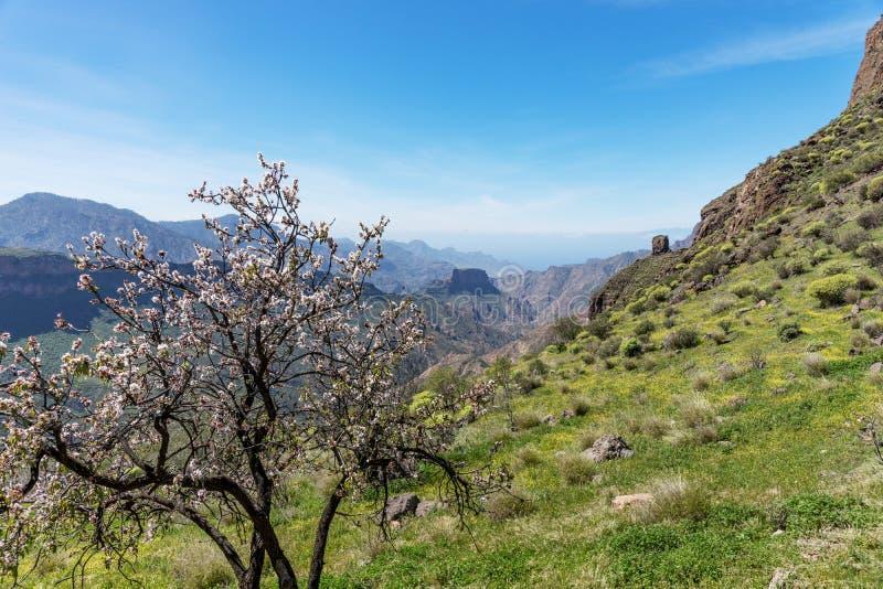 Árvore de amêndoa no primeiro plano das montanhas em Gran Canaria fotos de stock