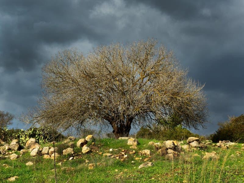 Árvore de amêndoa velha imagens de stock royalty free