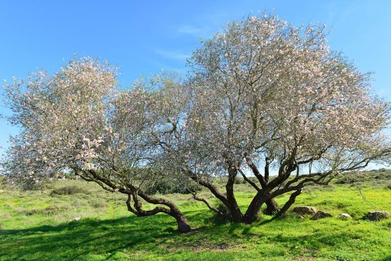Árvore de amêndoa velha na flor fotografia de stock
