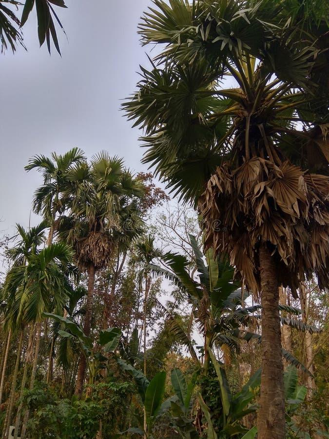 Árvore de ameixa foto de stock