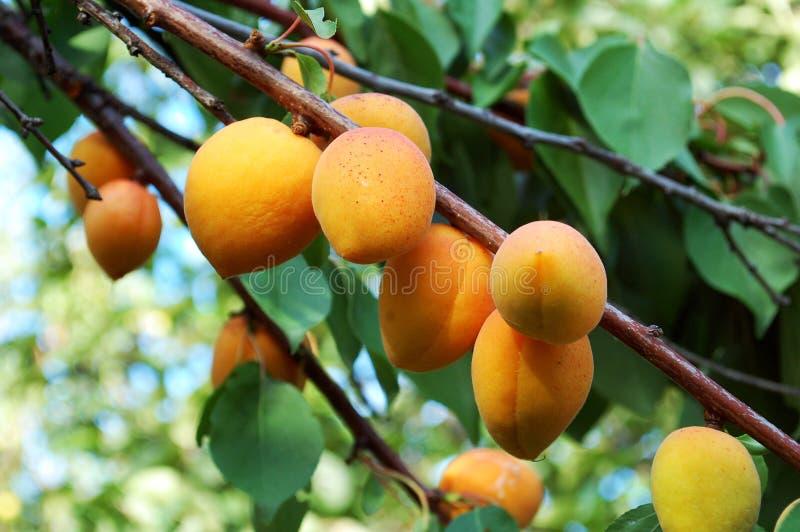 Árvore de ameixa armênia fotografia de stock royalty free