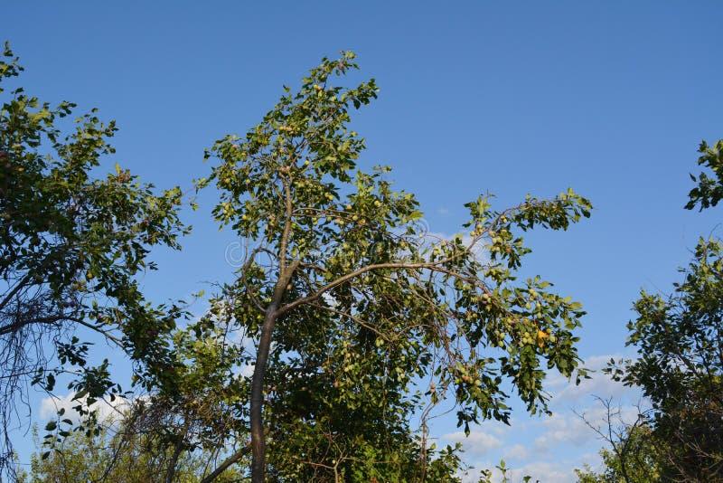 Árvore de ameixa com frutos verdes no pomar em plenos verões foto de stock royalty free